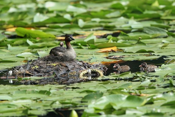 カイツブリの巣。雛が親にまとわりついて可愛い。