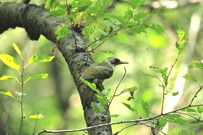 巣の近くにやってきたアオゲラの親。