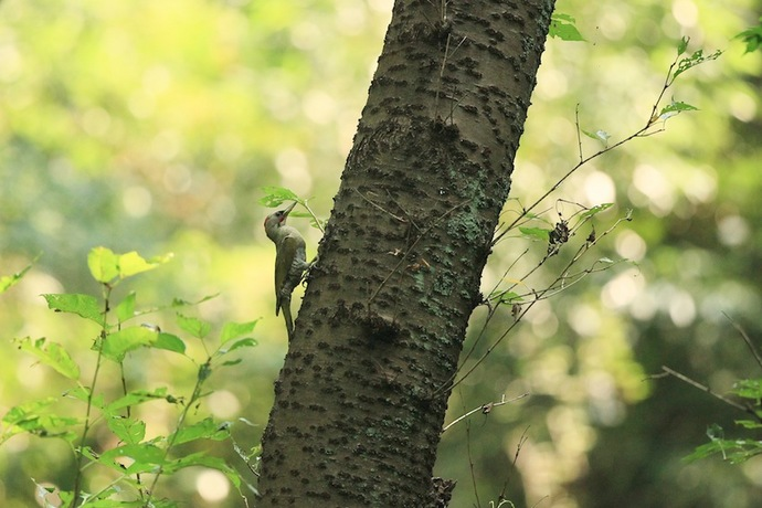 隣の木で様子を見てから巣に向かいます。