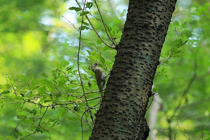 一旦巣の上部に留まり、様子を見てから巣に近づきます。
