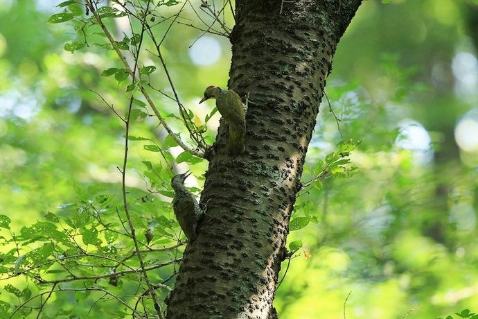 親鳥はヒナの様子を見ながら移動する。