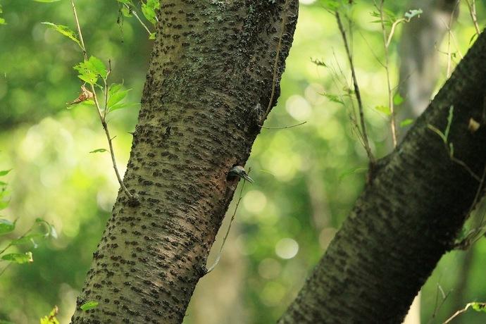 今日の巣立ちはないのか、残されたヒナのオス。