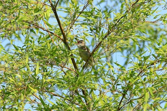 念願のオオヨシキリ(そんな貴重な鳥ではありませんが)