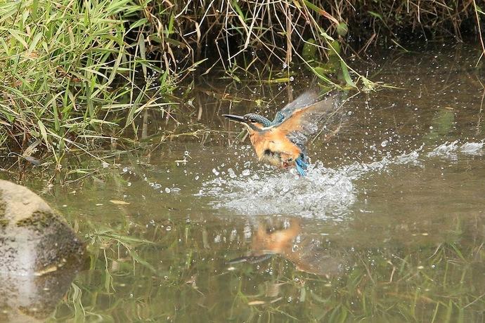 エサ捕りか水浴びか頻繁に飛び込む。