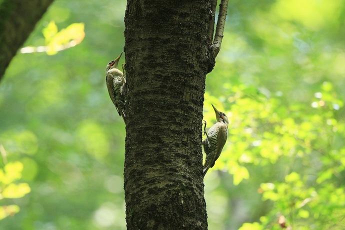 巣に寄って来た親のつがい。一緒になるのは珍しい。