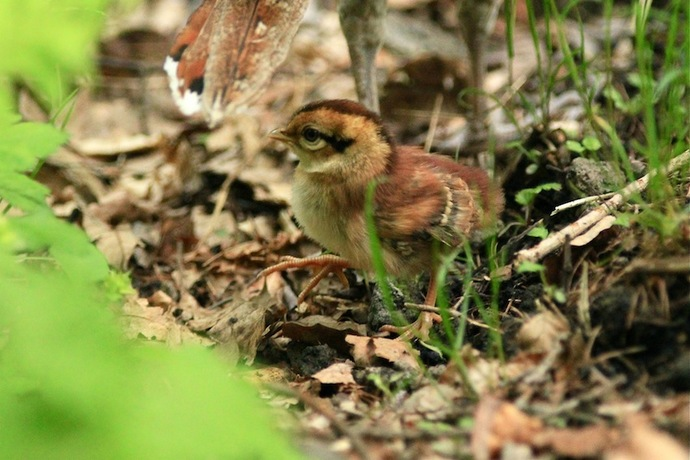 ひな鳥が親のあとをうろちょろしていた。ひよこより小さく動きが素早い。