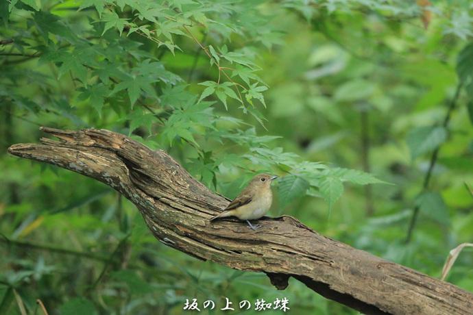 ④ キビタキ♀